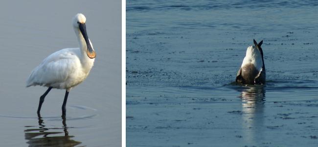 Oiseau: Spatule blanche dans les marais salants de l'île de ré
